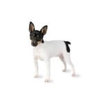 Pets N Pals Staunton, VA Toy Fox Terrier