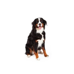Pets N Pals Staunton, VA Bernese Mountain Dog