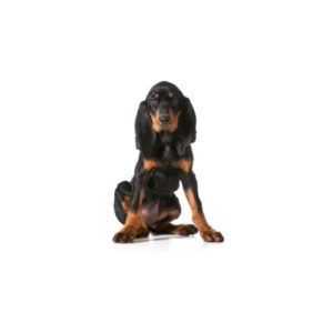 Pets N Pals Staunton, VA Black and Tan Coonhound