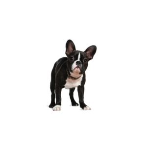Pets N Pals Staunton, VA Boston Terrier