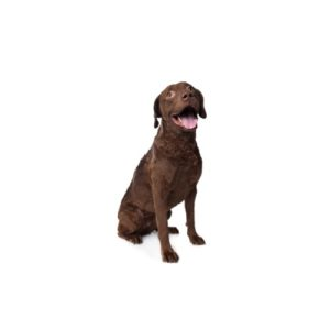 Pets N Pals Staunton, VA Chesapeake Bay Retriever