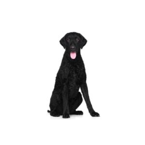 Pets N Pals Staunton, VA Curly-Coated Retriever