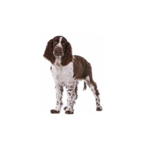 Pets N Pals Staunton, VA English Springer Spaniel