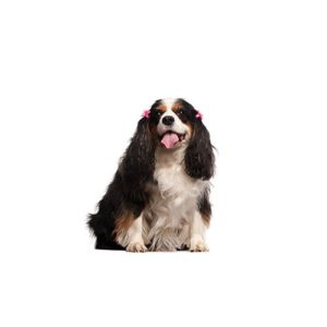 Pets N Pals Staunton, VA English Toy Spaniel