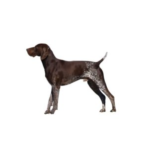 Pets N Pals Staunton, VA German Shorthaired Pointer