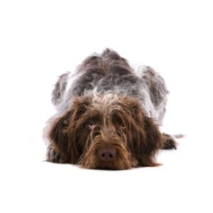 Pets N Pals Staunton, VA German Wirehaired Pointer