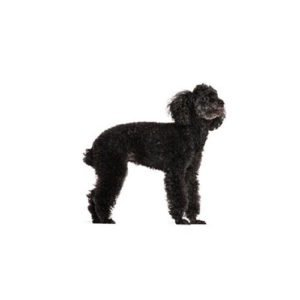 Miniature Poodle Puppies Pets N Pals Staunton Va