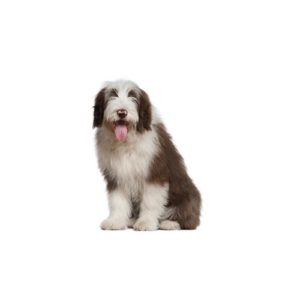 Pets N Pals Staunton, VA Old English Sheepdog