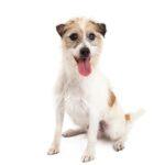 Pets N Pals Staunton, VA Jack Russel Terrier
