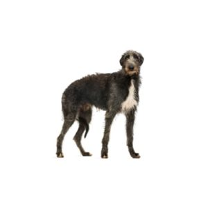 Pets N Pals Staunton, VA Scottish Deerhound
