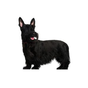 Pets N Pals Staunton, VA Scottish Terrier
