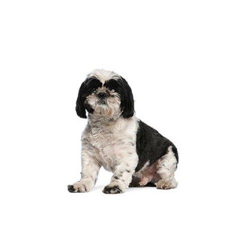 Shih Tzu Puppies - Pets N Pals Staunton, VA