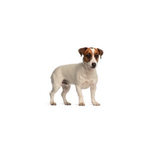 Pets N Pals Staunton, VA Smooth Fox Terrier