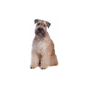 Pets N Pals Staunton, VA Soft Coated Wheaten Terrier