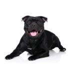 Pets N Pals Staunton, VA Staffordshire Bull Terrier