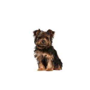 Yorkie Chon Puppies Pets N Pals Staunton Va