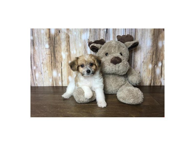 Bichon Frise/Papillon Cross-DOG-Male-Red and White-2132840