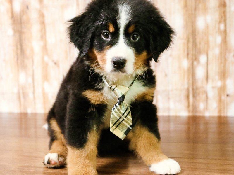Bernese Mountain Dog Dog Male Tri Color 2164840 Pets N Pals