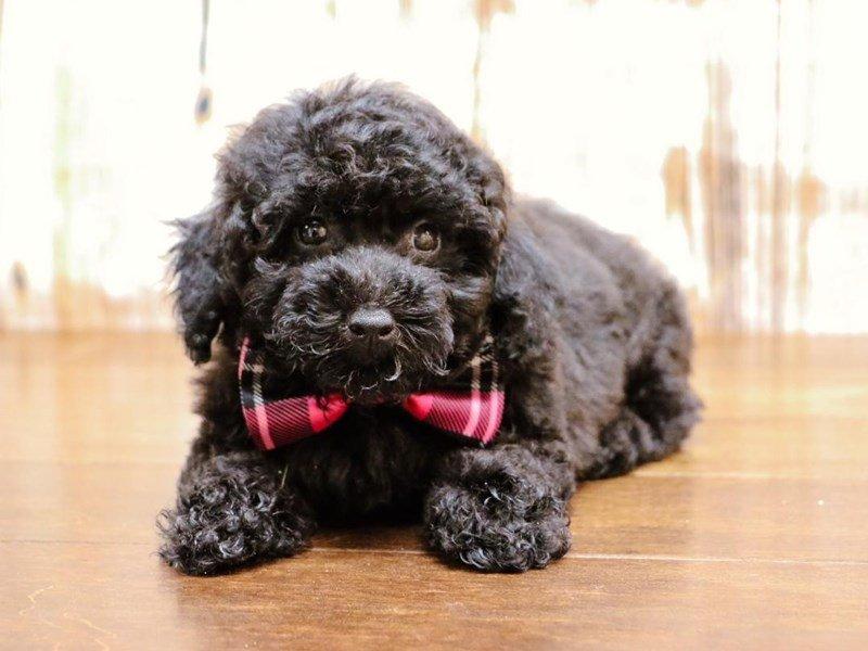 Miniature Poodle-Male-Black-2174216-Pets N Pals Staunton, VA
