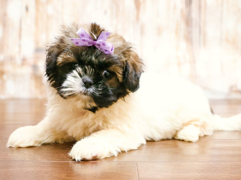 Visit Our Shih Tzu Puppies For Sale Near Charlottesville Virginia