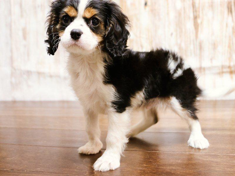 Cavalier King Charles Spaniel Puppies For Sale Near Lynchburg Virginia