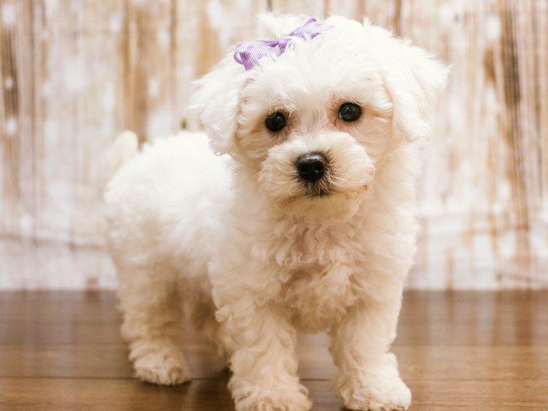 Bichon Frise-Female-white-2189035-Pets N Pals Staunton, VA