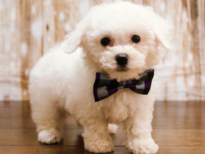 Bichon Frise Puppies - Pets N Pals Staunton, VA