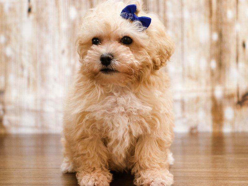 Miniature Poodle-Male-Apricot-2189004-Pets N Pals Staunton, VA