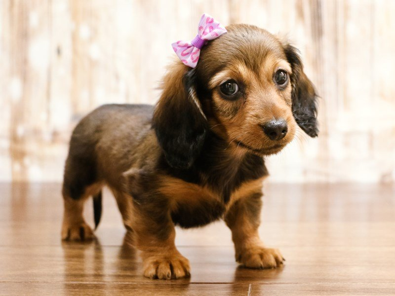 Visit Our Dachshund Puppies For Sale Near Charlottesville Virginia