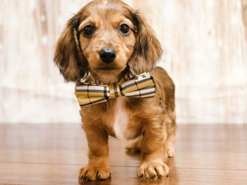 Visit Our Dachshund Puppies For Sale Near Lynchburg Virginia