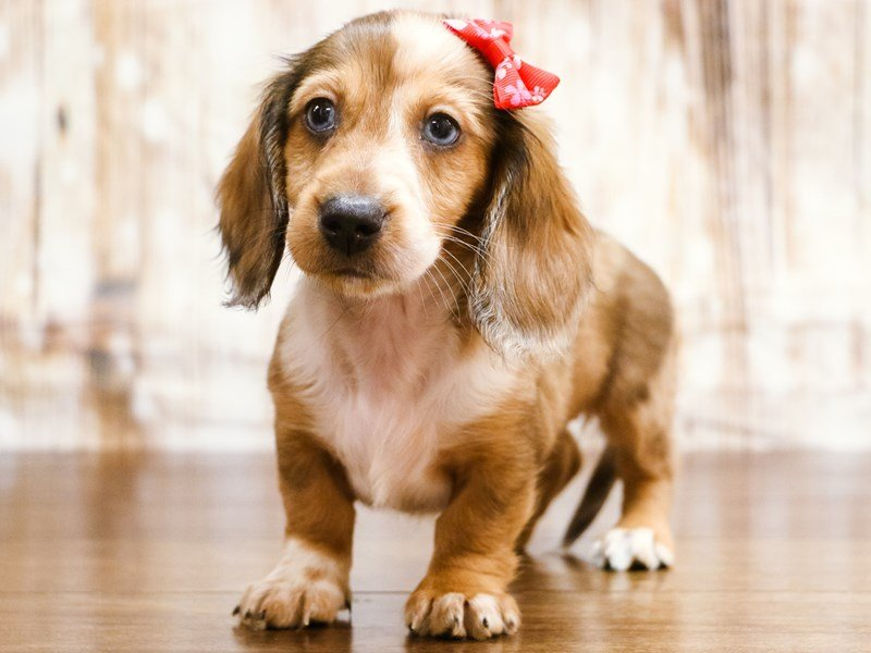 Visit Our Dachshund Puppies For Sale Near Roanoke Virginia