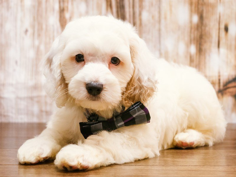 Visit Our Cockapoo Puppies For Sale Near Lynchburg Virginia
