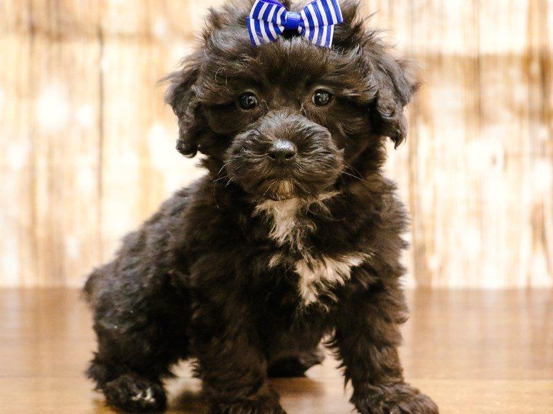 Shih-Poo (Shih Tzu/Poodle)-DOG-Female-red-2153120-Pets N
