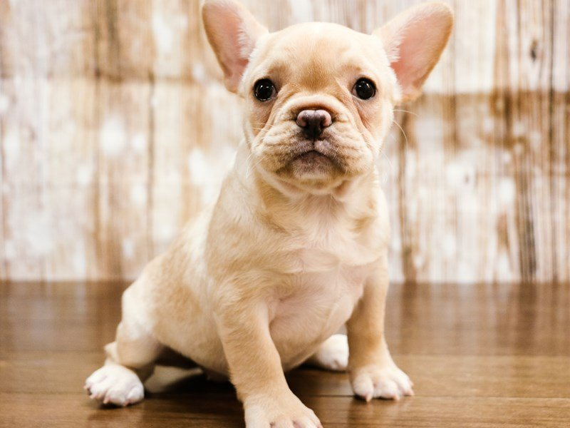 Visit Our French Bulldog Puppies For Sale Near Lynchburg Virginia