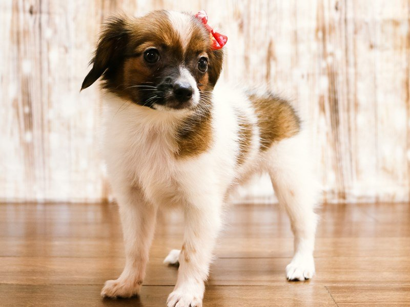 Papillon-Female-brown and white-2197876-Pets N Pals Staunton, VA