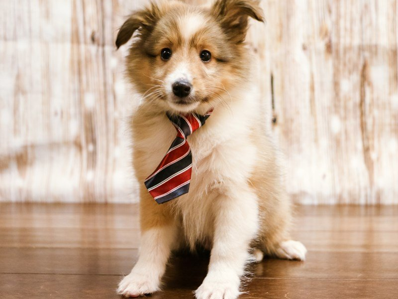 Shetland Sheepdog-Male-sable-2216790-Pets N Pals Staunton, VA