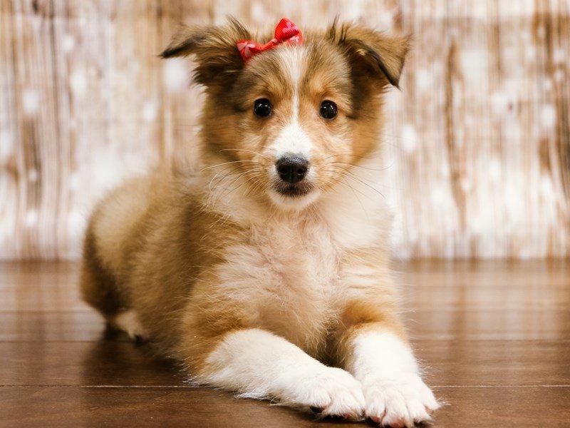 Shetland Sheepdog-Female-sable-2216791-Pets N Pals Staunton, VA
