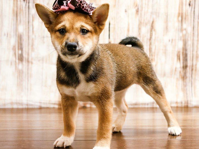 Visit Our Shiba Inu Puppies For Sale Near Harrisonburg Virginia
