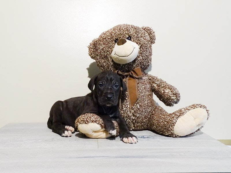 Great Dane-Female-Black-2225119-Pets N Pals Staunton, VA