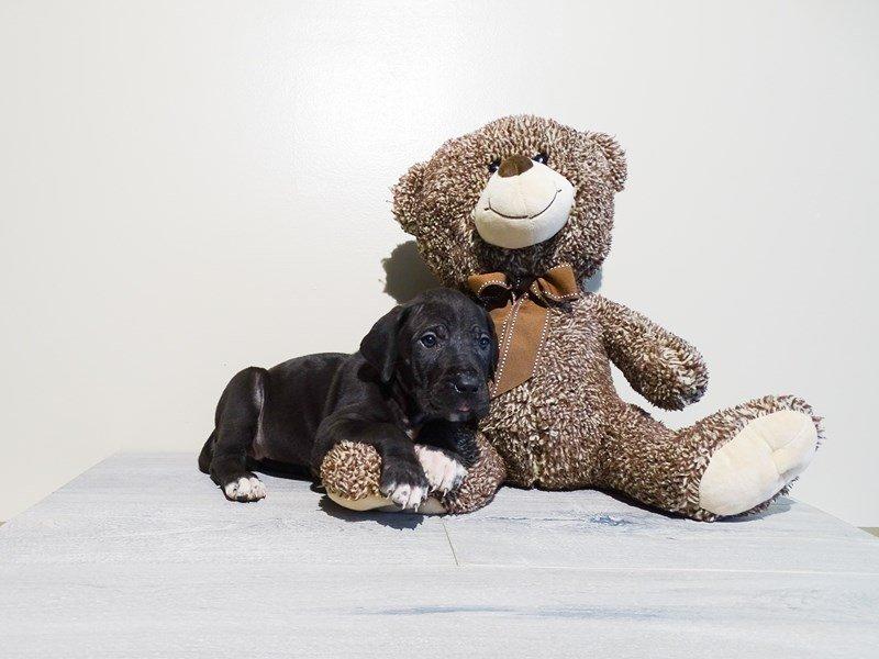 Great Dane-Female-Black-2225116-Pets N Pals Staunton, VA