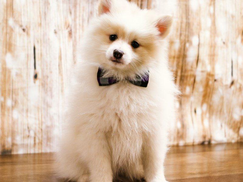 Pomeranian-Male-cream-2226116-Pets N Pals Staunton, VA