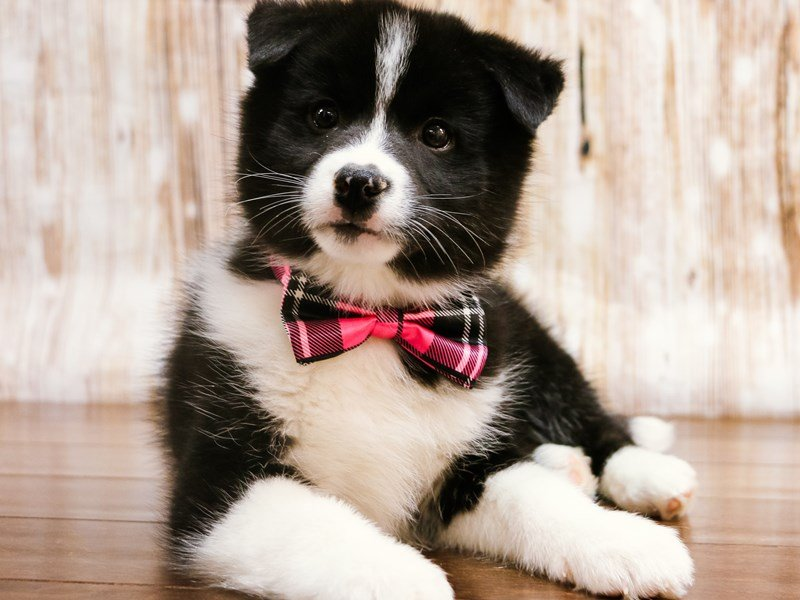 Pomsky-Female-Black and White-2239628-Pets N Pals Staunton, VA