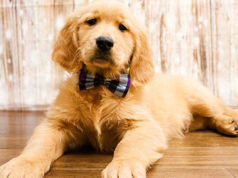 Golden Retriever-Male-gold-2267589-Pets N Pals Staunton, VA