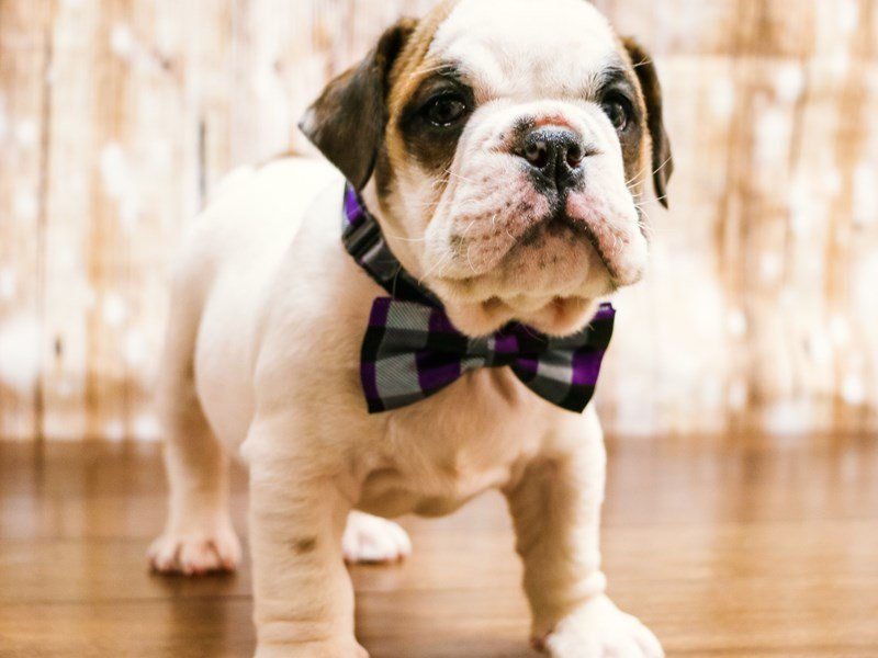 English Bulldog-Male-White & Brown-2256734-Pets N Pals Staunton, VA