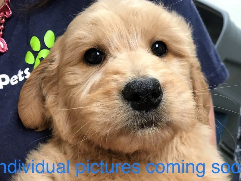 Goldendoodle-Male-Tan-2283129-Pets N Pals Staunton, VA