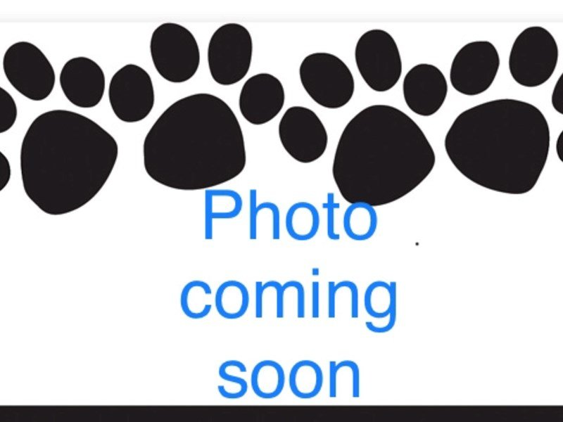 Siberian Husky-Male-Black and White-2283512-Pets N Pals Staunton, VA