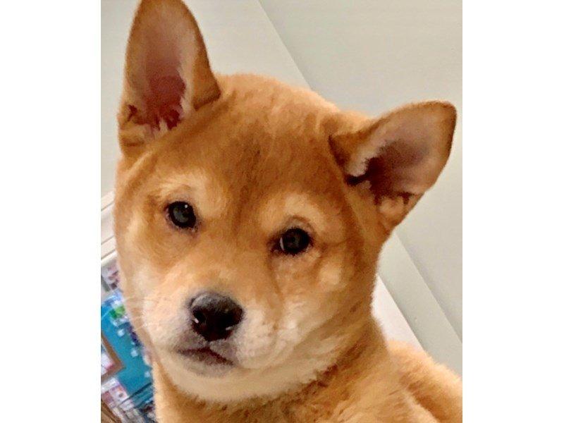Shiba Inu Dog Male Red 2273891 Pets N Pals Staunton Va
