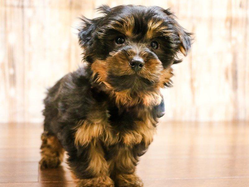 Yorkshire Terrier-Female-Black and Tan-2278605-Pets N Pals Staunton, VA