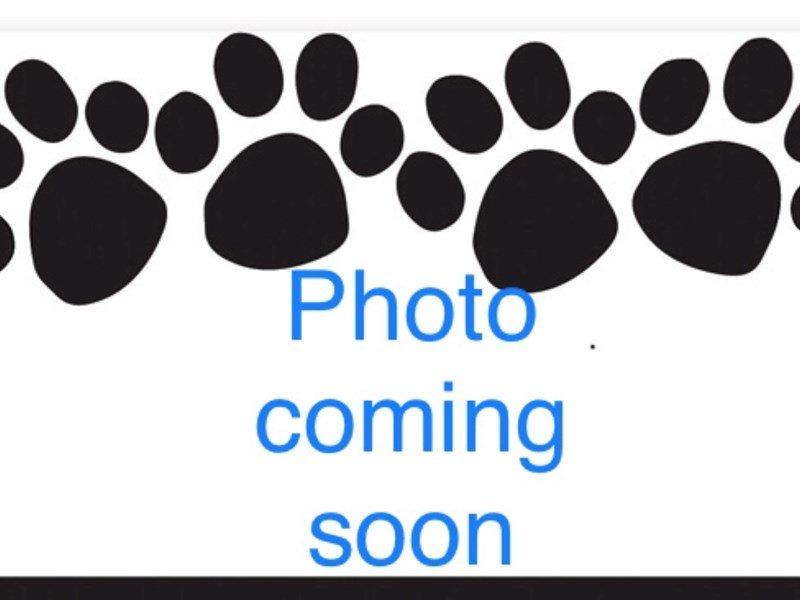 English Bulldog-Male-red and white-2295087-Pets N Pals Staunton, VA