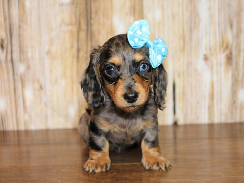 Miniature Dachshund-DOG-Female-blue dapple-2328436-Pets N Pals